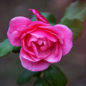 amuleto-dinero-rosa