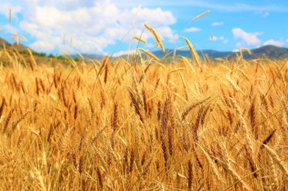15-Campo de trigo.jpg,